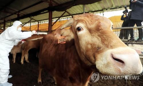 백신 접종 중인 소 <출처=연합뉴스>