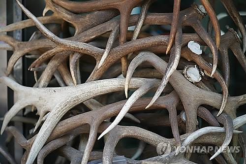 녹용(사진=연합뉴스)