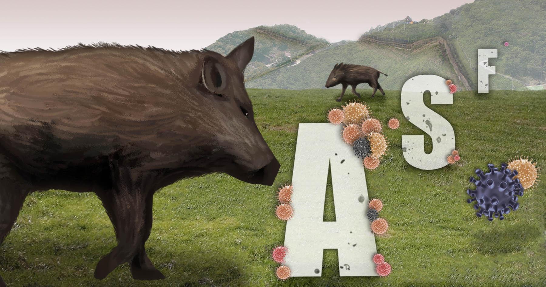 야생멧돼지에서 아프리카돼지열병 바이러스 검출<사진=연합>