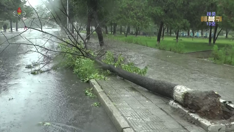 This file photo captured from North Korea's state TV broadcast shows a tree knocked over by strong winds from Typhoon Lingling in September 2019.