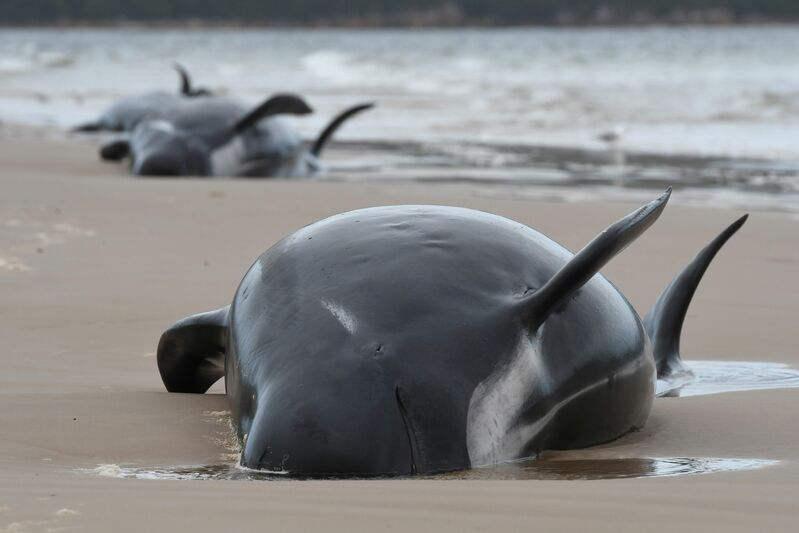 A pod of whales was discovered stranded on a beach in Macquarie Harbor on the rugged west coast of Tasmania. Rescuers faced a race against time to save nearly 200 whales stuck in the remote Australian harbor on Sept. 22, 2020.
