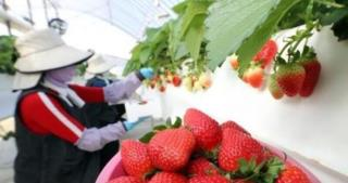 Strawberries Asia Exports